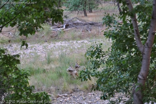 Zion National Park, two deer