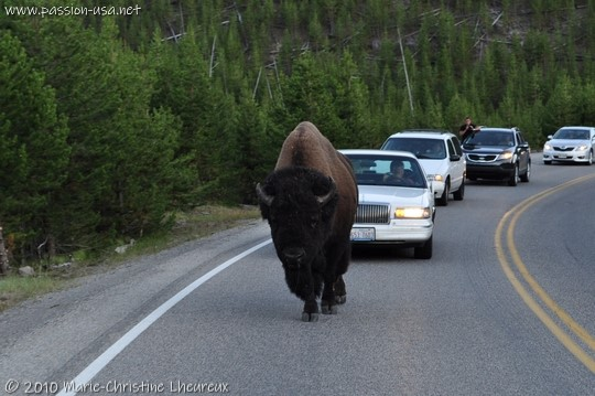 Yellowstone National Park, bison on the road