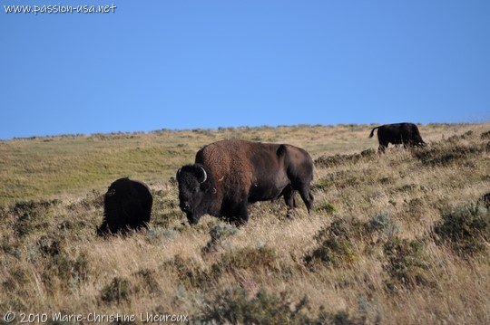 Parc National de Yellowstone, bisons