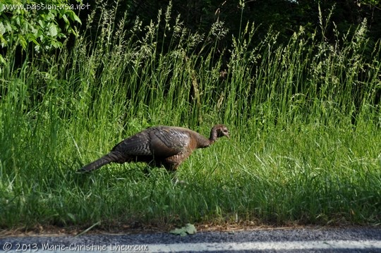 Shenandoah National Park, a wild turkey on the side of the road