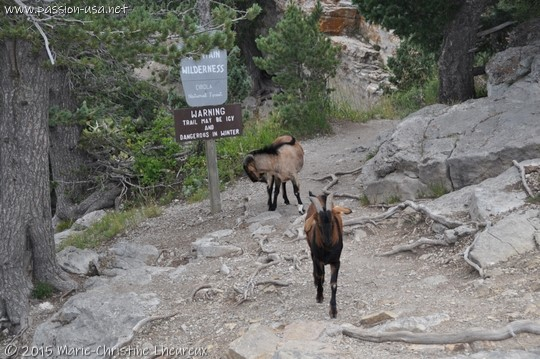 Two stray goats at Sandia Peak