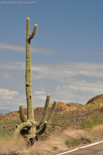 Saguaro along Apache Trail