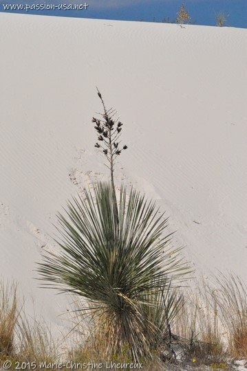 Yucca, White Sands National Monument