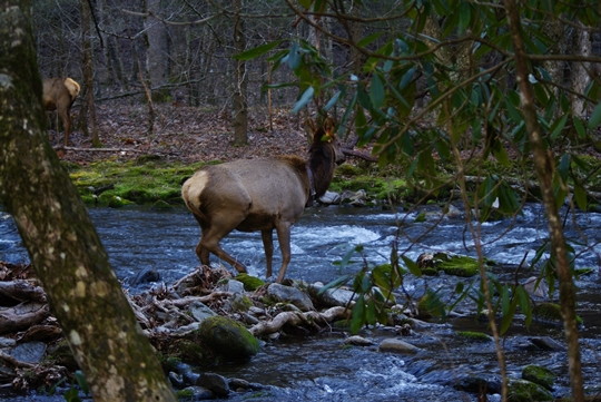 great smoky mountains national park deer 540